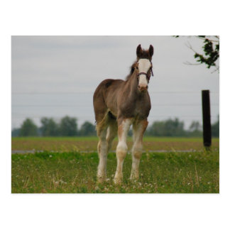 clydesdale filly post card