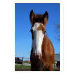 Clydesdale filly postcard