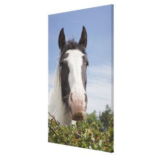 Clydesdale horse portrait canvas print