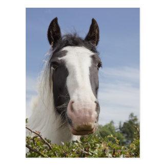 Clydesdale horse portrait postcard