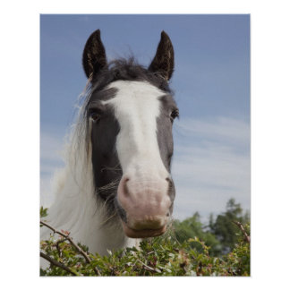 Clydesdale horse portrait posters