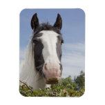 Clydesdale horse portrait rectangle magnet