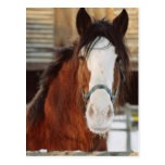 Clydesdale horse postcard