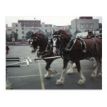 Clydesdale Horses At Midtown Plaza in Elmira, NY Postcard