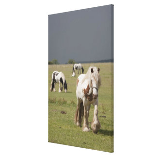 Clydesdale horses in a field, Northumberland, Canvas Print