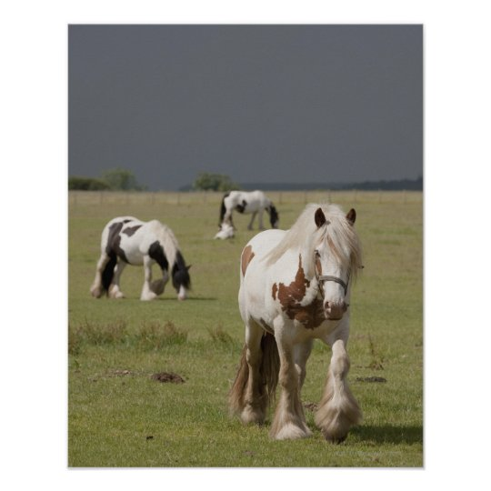 Clydesdale horses in a field, Northumberland, Poster