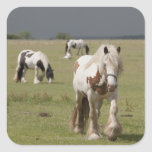 Clydesdale horses in a field, Northumberland, Square Sticker