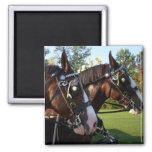 Clydesdale Horses Magnet
