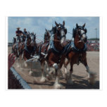 Clydesdale Horses Post Cards