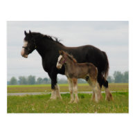 clydesdale mare and filly post cards