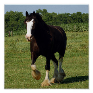 Clydesdale running print