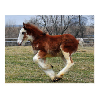 Clydesdale stud colt running post card