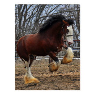 Clydesdale stud colt running postcard