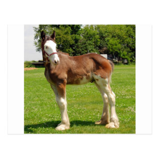 clydesdale stud post card