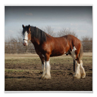 Clydesdale stud Print