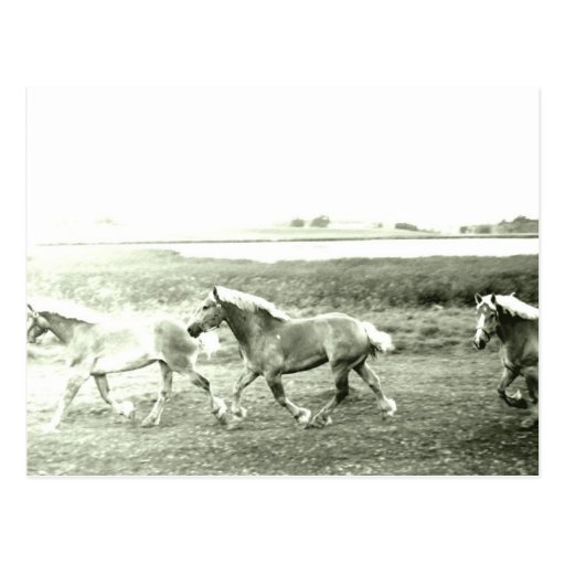 Clydesdales Postcard