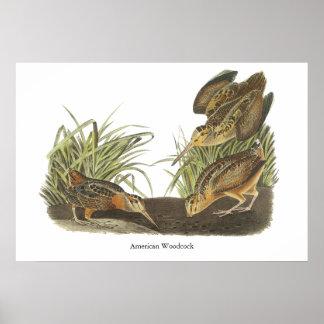 Coalla americana impresión de Juan Audubon Poster