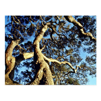 Coast Live Oaks, Bolinas Lagoon Postcard