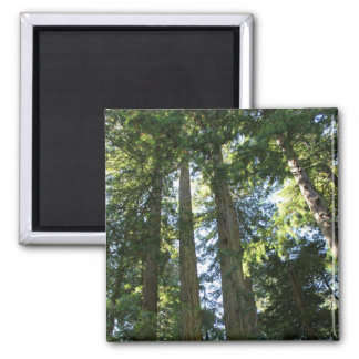 Coast Redwood Trees Refrigerator Magnets