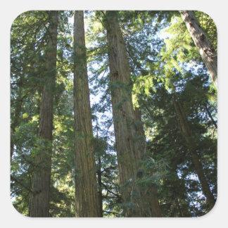 Coast Redwood Trees Square Sticker