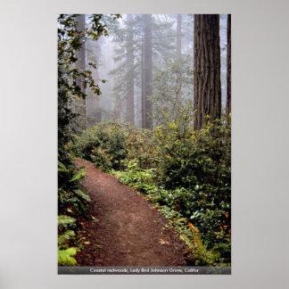 Coastal redwoods, Lady Bird Johnson Grove, Califor Poster