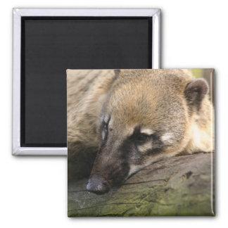 Coati Closeup Magnet