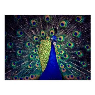 Cobalt Blue Peacock Postcards