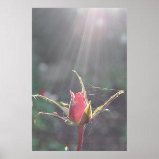 Cobwebs Sunlight & red Rose, Floral & Garden Poster