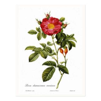 Coccinea del damascena de Rosa Tarjetas Postales