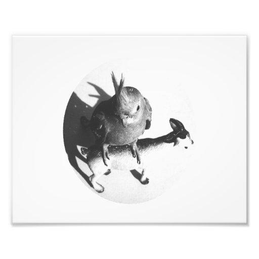Cockatiel en círculo del bw de la cabra impresiones fotográficas