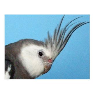 Cockatiel masculino de Whiteface Postal