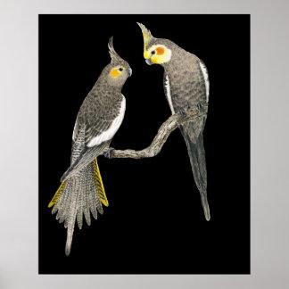Cockatiel Pair - Nymphicus hollandicus on Black Poster