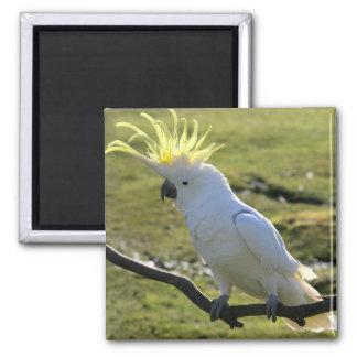 Cockatoo Azufre-Con cresta en Australia Imán Cuadrado