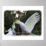 Cockatoo con cresta 9Y319D-079 del azufre Poster