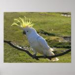 Cockatoo con cresta del azufre amarillo australian posters