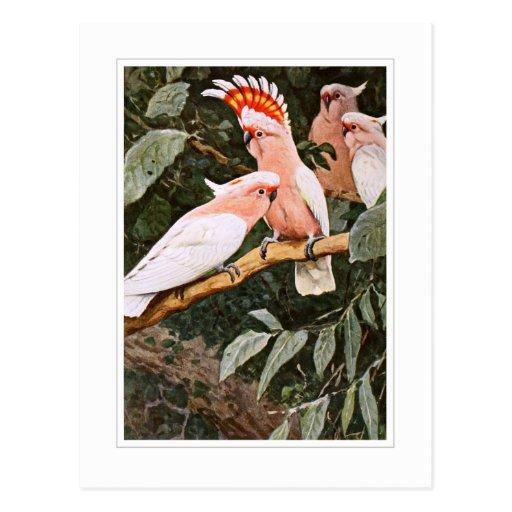 Cockatoo del inca; por W.Kuhnert Tarjeta Postal
