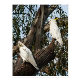 Cockatoos Postcards