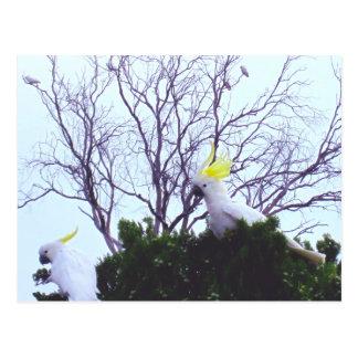 Cockatoos que alimentan en la postal de Bush