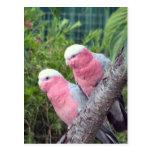 Cockatoos rosados tarjetas postales