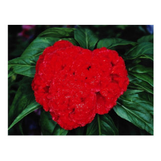 Cockscomb, East Indies flowers Postcard