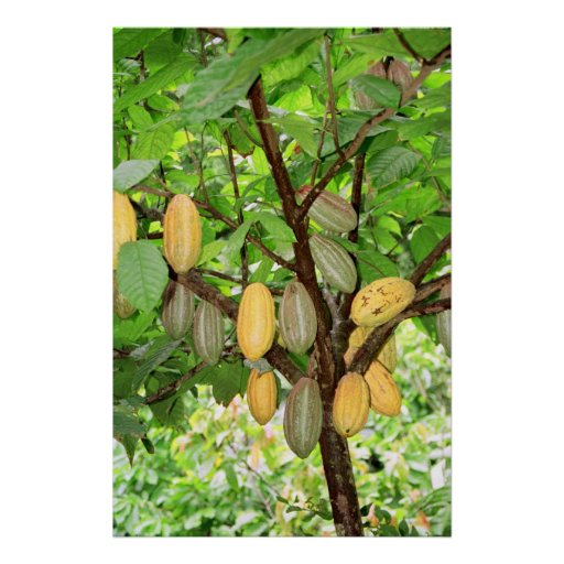 Cocoa tree posters