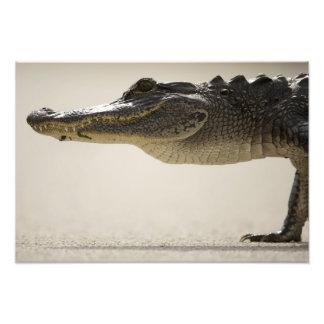 Cocodrilo americano cocodrilo fotografia