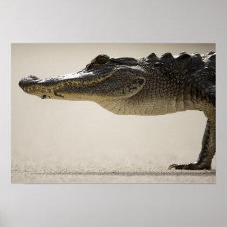 Cocodrilo americano, cocodrilo póster