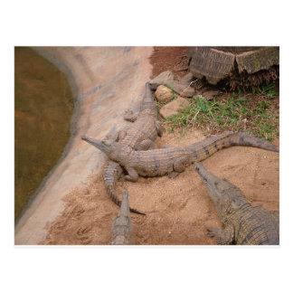 Cocodrilo de agua dulce australiano tarjeta postal