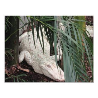 Cocodrilo del albino cojinete
