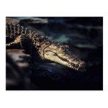 Cocodrilo del caimán postal