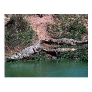 Cocodrilos del Nilo Postales