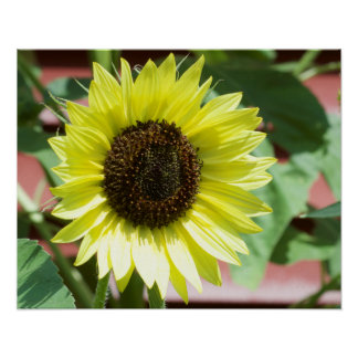 Coconut Ice Sunflower Poster