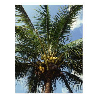 Coconut Palm Tree Postcard