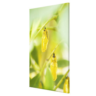 Cocoon of Paper Kite Butterfly, Okinawa Gallery Wrapped Canvas